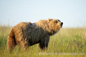 Young coastal brown bear in sedge grass meadow, Ursus arctos, Lake Clark National Park, Alaska