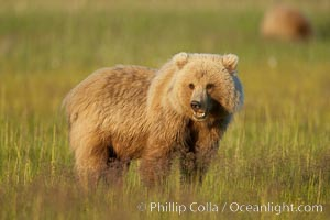 Juvenile coastal brown bear (grizzly bear) in sedge grass near Johnson River, Ursus arctos, Lake Clark National Park, Alaska