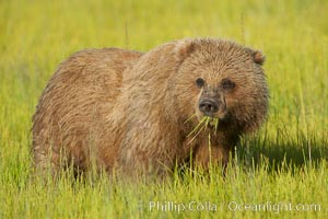Young brown bear grazes in tall sedge grass.  Brown bears can consume 30 lbs of sedge grass daily, waiting weeks until spawning salmon fill the rivers, Ursus arctos, Lake Clark National Park, Alaska