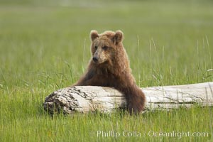 Lazy brown bear rests on a log, Ursus arctos, Lake Clark National Park, Alaska