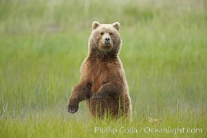 A brown bear mother (sow) stands in tall sedge grass to look for other approaching bears that may be a threat to her cubs. Lake Clark National Park, Alaska, USA, Ursus arctos, natural history stock photograph, photo id 19204