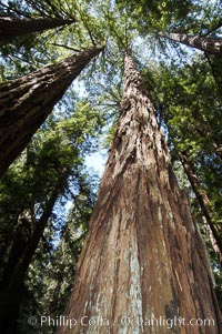 Coastal redwoods and Douglas firs dominate the Muir Woods National Monument north of San Francisco.  Coast redwoods are the worlds tallest living species and second-most massive tree (after the giant Sequoia), reaching 370 ft in height and 22 ft in diameter.  Muir Woods National Monument, Golden Gate National Recreation Area, north of San Francisco, Sequoia sempervirens, Pseudotsuga menziesii