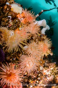 Colorful anemones cover the rocky reef in a kelp forest near Vancouver Island and the Queen Charlotte Strait.  Strong currents bring nutrients to the invertebrate life clinging to the rocks