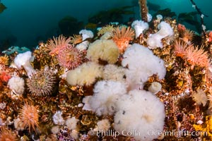 Colorful anemones cover the rocky reef in a kelp forest near Vancouver Island and the Queen Charlotte Strait.  Strong currents bring nutrients to the invertebrate life clinging to the rocks, Metridium senile