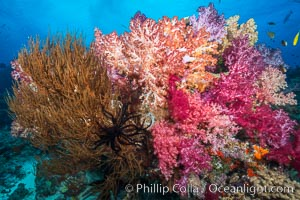 Colorful Dendronephthya Soft Corals and Black Coral, Fiji, Dendronephthya, Nigali Passage, Gau Island, Lomaiviti Archipelago