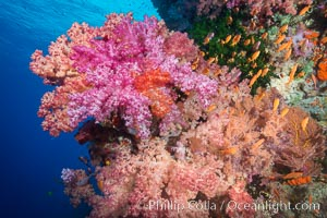 Spectacularly colorful dendronephthya soft corals on South Pacific reef, reaching out into strong ocean currents to capture passing planktonic food, Fiji. Vatu I Ra Passage, Bligh Waters, Viti Levu  Island, Fiji, Dendronephthya, natural history stock photograph, photo id 31357