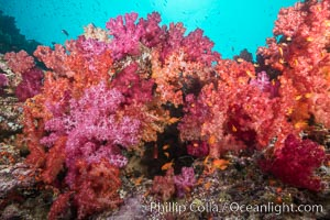 Spectacularly colorful dendronephthya soft corals on South Pacific reef, reaching out into strong ocean currents to capture passing planktonic food, Fiji. Gau Island, Lomaiviti Archipelago, Fiji, Dendronephthya, natural history stock photograph, photo id 31380