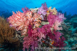Spectacularly colorful dendronephthya soft corals on South Pacific reef, reaching out into strong ocean currents to capture passing planktonic food, Fiji, Dendronephthya, Nigali Passage, Gau Island, Lomaiviti Archipelago