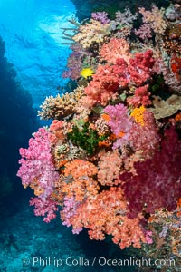 Spectacularly colorful dendronephthya soft corals on South Pacific reef, reaching out into strong ocean currents to capture passing planktonic food, Fiji. Fiji, Dendronephthya, natural history stock photograph, photo id 31442