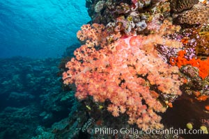 Spectacularly colorful dendronephthya soft corals on South Pacific reef, reaching out into strong ocean currents to capture passing planktonic food, Fiji, Dendronephthya, Vatu I Ra Passage, Bligh Waters, Viti Levu  Island