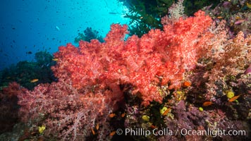 Spectacularly colorful dendronephthya soft corals on South Pacific reef, reaching out into strong ocean currents to capture passing planktonic food, Fiji, Dendronephthya, Namena Marine Reserve, Namena Island