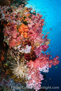 Vibrant displays of color among dendronephthya soft corals on South Pacific reef, reaching out into strong ocean currents to capture passing planktonic food, Fiji, Dendronephthya, Vatu I Ra Passage, Bligh Waters, Viti Levu Island