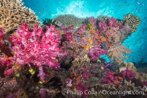 Colorful dendronephthya soft corals and various hard corals, flourishing on a pristine healthy south pacific coral reef.  The soft corals are inflated in strong ocean currents, capturing passing planktonic food with their many small polyps. Namena Marine Reserve, Namena Island, Fiji, Dendronephthya, natural history stock photograph, photo id 31407