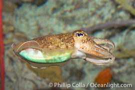 Common cuttlefish, siphon clearly visible on underside of cuttle, Sepia officinalis