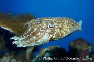 Common cuttlefish., Sepia officinalis, natural history stock photograph, photo id 11778