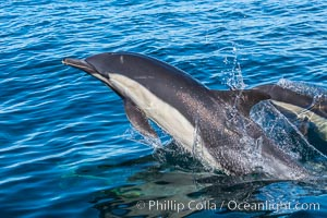 Common Dolphin Breaching the Ocean Surface, San Diego, California