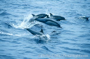 Common dolphin leaping (porpoising). San Diego, California, USA, Delphinus delphis, natural history stock photograph, photo id 18932