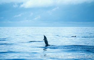 Common dolphin leaping (porpoising). San Diego, California, USA, Delphinus delphis, natural history stock photograph, photo id 18933