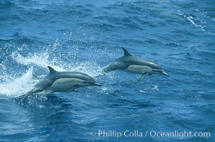 Common dolphin leaping (porpoising). San Diego, California, USA, Delphinus delphis, natural history stock photograph, photo id 04923