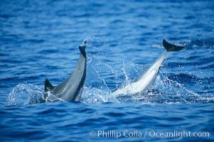Common dolphin leaping (porpoising), Delphinus delphis, San Diego, California