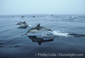 Common dolphin, Baja California., Delphinus delphis, natural history stock photograph, photo id 04934