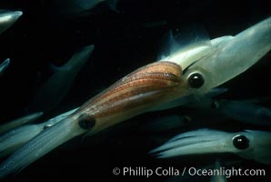 Squid, mating and laying eggs, Loligo opalescens, La Jolla, California