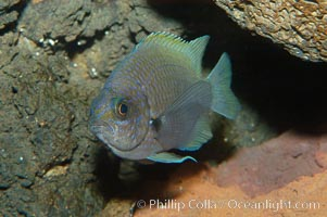 Connies Damsel, Chromis limbaughi