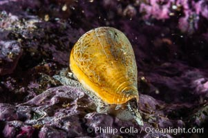 A Califonia cone snail, its eye stalk and mantle barely visible under its shell, makes it way slowly across a rocky reef, Conus californicus, Santa Barbara Island