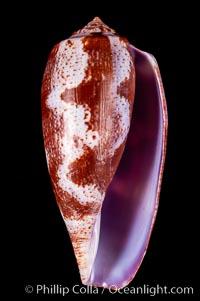 Tulip Cone, Conus tulipa