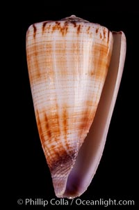 Calf Cone, Conus vitulinus