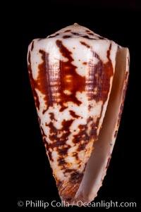 Calf Cone, Conus vitulinus