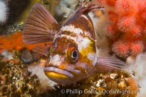 Copper Rockfish Sebastes caurinus with pink soft corals and reef invertebrate life,  Browning Passage, Vancouver Island, British Columbia, Sebastes caurinus
