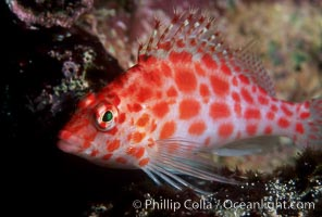 Image 02433, Coral hawkfish. Wolf Island, Galapagos Islands, Ecuador, Cirrhitichthys oxycephalus, Phillip Colla, all rights reserved worldwide. Keywords: animal, cirrhitichthys oxycephalus, color and pattern, coral hawkfish, disruptive coloration, ecuador, fish, fish anatomy, galapagos, galapagos islands, halcon de coral, hawkfish, indo-pacific, marine, marine fish, nature, ocean, oceans, pacific, sea, teleost fish, underwater, wildlife, wolf island, world heritage sites.