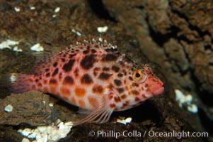 Coral hawkfish, Cirrhitichthys oxycephalus, Punte Vicente Roca