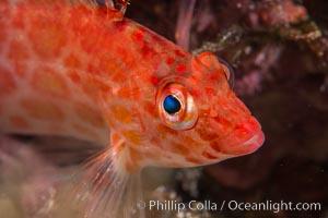 Coral Hawkfish, Sea of Cortez, Baja California, Isla San Diego, Mexico