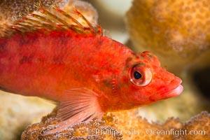 Coral Hawkfish, Sea of Cortez, Baja California, Isla San Francisquito, Mexico