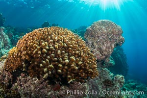 Coral Heads on Reef, Lobera San Rafaelito, Sea of Cortez