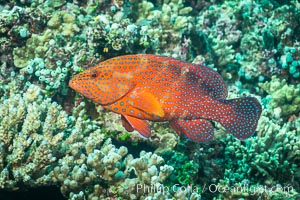 Coral Hind, Cephalopholis miniata, also known as Coral Trout and Coral Grouper, Fiji, Makogai Island, Lomaiviti Archipelago