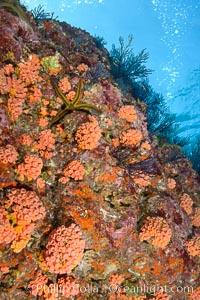 Corals and Gorgonians on Rocky Reef, Los Islotes, Sea of Cortez