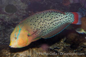 Queen coris wrasse, Coris formosa
