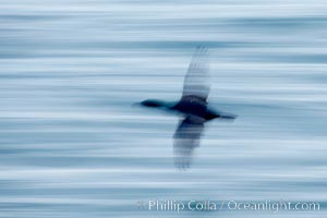Cormorant in flight, blurred as it speeds over the ocean, Phalacrocorax, La Jolla, California