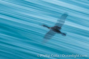 Cormorant in flight, wings blurred by time exposure, La Jolla, California
