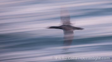 Cormorant in flight, wings blurred by time exposure. La Jolla, California, USA, Phalacrocorax auritus, natural history stock photograph, photo id 30219