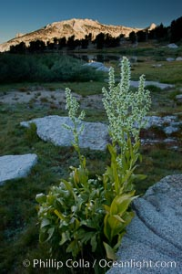 Corn lily blooms near Vogelsang Lake, in shade at sunrise, Veratrum californicum, Yosemite National Park, California