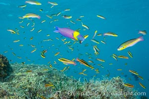 Cortez rainbow wrasse schooling over reef in mating display