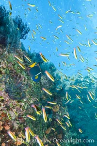 Cortez rainbow wrasse schooling over reef in mating display, Los Islotes, Baja California, Mexico