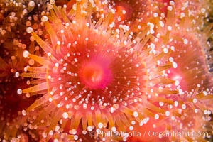 Corynactis anemone polyp, a corallimorph, extends its arms into passing ocean currents to catch food, San Diego, California