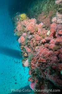 Corynactis anemones cover Oil Rig Ellen underwater, Corynactis californica, Long Beach, California