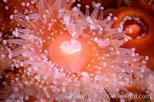 Corynactis anemone polyp, a corallimorph,  extends its arms into passing ocean currents to catch food, Corynactis californica, San Diego, California