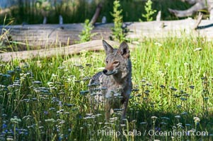A coyote hunts through grass for small rodents.  Heron Pond, Canis latrans, Grand Teton National Park, Wyoming